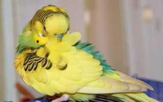 Почему волнистый попугай чешется и что с этим делать
