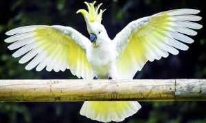 Сколько живут попугаи какаду в домашних условиях