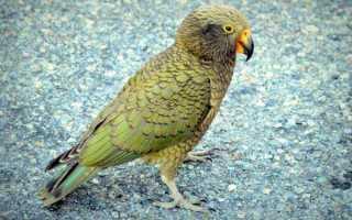 Попугай кеа (нестор): описание хищника, интеллект, охота на овец