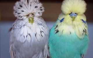 Попугай чех: сравнение с волнистым, особенности содержания