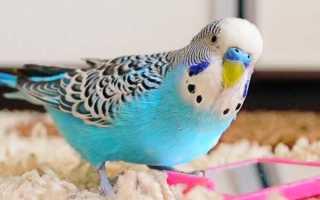 Как ухаживать за попугаем в домашних условиях
