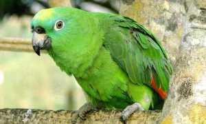Попугай Амазон: жизнь на воле и в домашних условиях