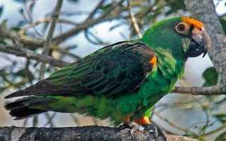 Конголезский попугай: описание, содержание в домашних условиях, разведение