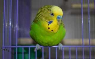 Адаптация волнистого попугая после покупки