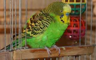 Полиурия у волнистого попугая: причины, симптомы и лечение