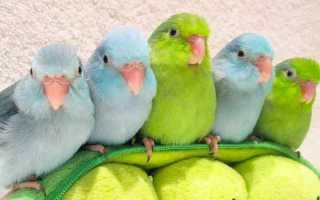 Воробьиный попугай: описание, размножение, одомашнивание