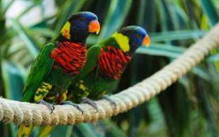 Попугай лори — яркая, умная, шаловливая птица