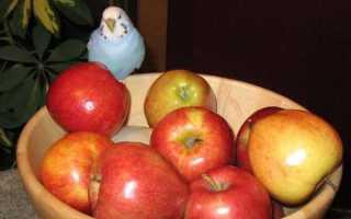 Можно ли давать попугаю яблоко и как это делать