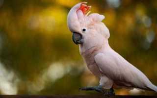 Молуккский какаду: внешний вид, характер, содержание в домашних условиях