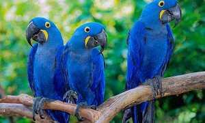 Гиацинтовый ара — самый крупный и ласковый попугай