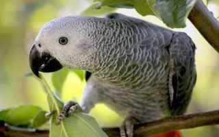 Сколько лет живут попугаи жако