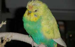 Линька у волнистых попугаев: почему попугай линяет