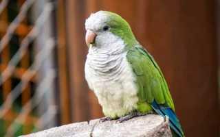 Попугай монах: внешний вид, содержание, размножение
