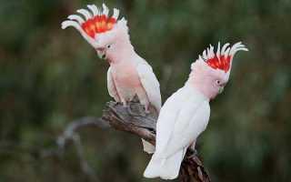 Какаду инка — самый красивый попугай Австралии