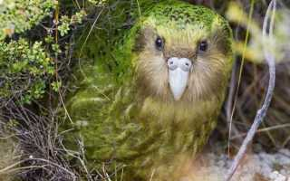 Какапо: как живет нелетающий совиный попугай?