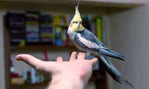 Попугай корелла: уход и содержание в домашних условиях