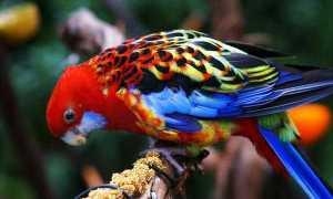 Попугай розелла: описание, виды, содержание и разведение в домашних условиях