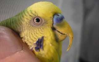 Как подстричь клюв волнистому попугаю в домашних условиях