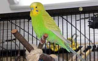 Как поймать попугая, если он вылетел из клетки?