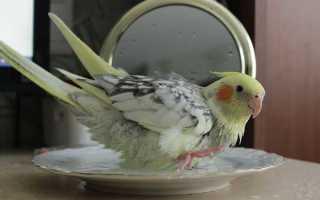 Как правильно мыть попугая корелла. Купалка своими руками