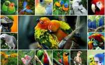 Виды и породы попугаев: описание, достоинства и недостатки