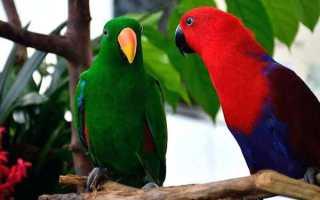 Благородные попугаи эклектусы: описание, содержание, размножение