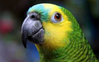 Как видят попугаи: волнистые, неразлучники, кореллы и все остальные