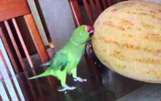 Можно ли давать попугаю дыню и как это делать