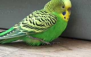 Понос у попугая: причины и лечение в домашних условиях