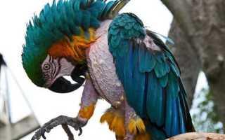 Почему у попугая выпадают перья и что с этим делать?