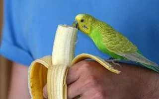 Можно ли давать попугаю банан и как это делать