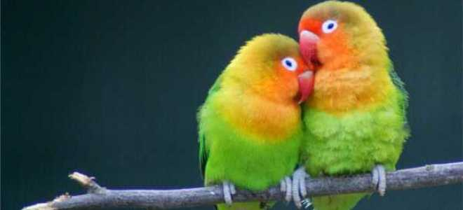 Попугаи неразлучники: содержание в домашних условиях, сколько живут