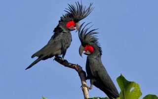 Черный (пальмовый) какаду — самый уникальный из всех попугаев
