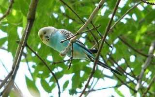 Как вернуть улетевшего попугая домой
