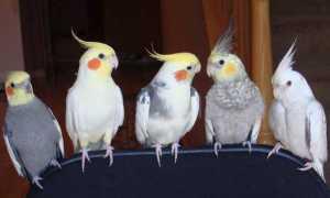 Как назвать попугая корелла мальчика и девочку