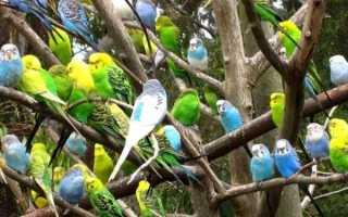 Сколько лет живут волнистые попугаи?