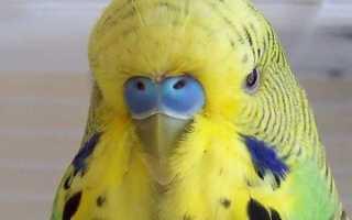 Болезни восковицы волнистых попугаев: потемнение, сухость, шелушение