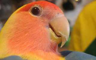 Слоится клюв у попугая (волнистого, кореллы, жако, неразлучника) — что делать?