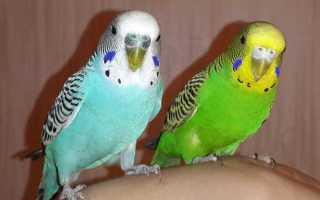 Полезные советы как узнать возраст волнистых попугаев