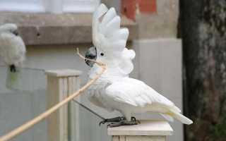 Белый какаду альба — изумительно красивый белохохлый попугай