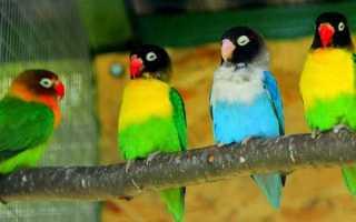 Масковый неразлучник: особенности содержания красочного попугая