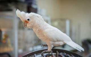 Какаду Гоффина — игривые и изящные попугаи