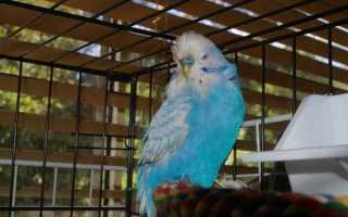 Орнитоз у попугаев: симптомы, причины и лечение