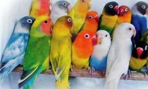 Виды попугаев неразлучников: описание, характер, покупка
