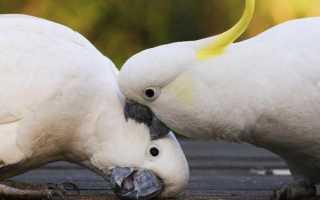 Где у попугаев уши? Как и что слышат попугаи