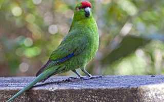 Какарики попугаи: содержание и разведение новозеландских попугаев