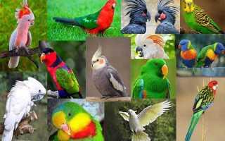 Попугаи Австралии: описание, фото, продолжительность жизни