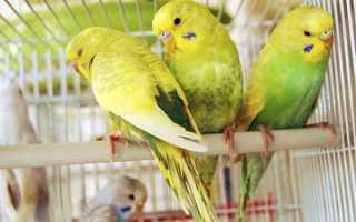 Блохи у волнистых попугаев: симптомы, лечение и профилактика