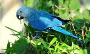 Голубой ара — редчайший попугай, выживший в неволе
