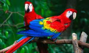 Красный ара: внешний вид, характер, одомашнивание
